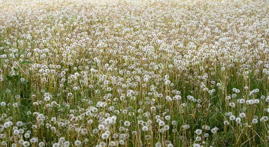 Field of Dandelions Natural weed control