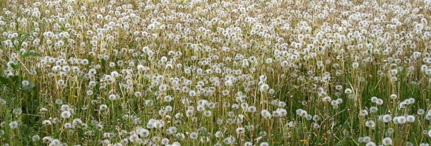 Field of Dandelions Weed Management