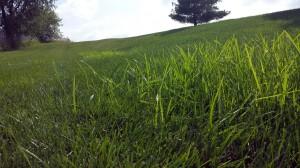 Nutsedge in grass in August