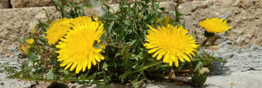 Dandelions in Crack Broadleaf Weeds