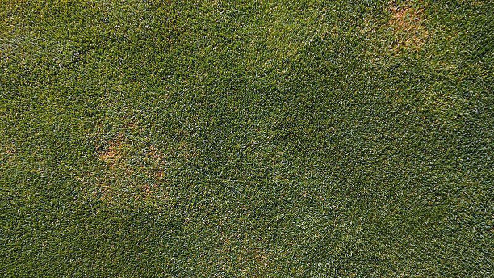 Leaf Spot Melting Out Bluegrasses Bentgrasses