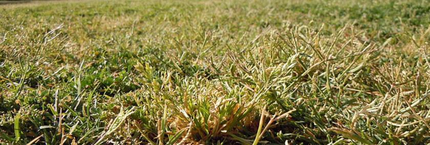 Poa Annua Weed Cool Season