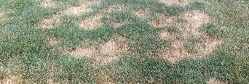 Summer Patch in Turf